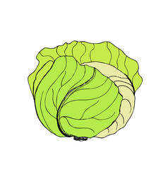 green cabbage cabbage clipart vector image