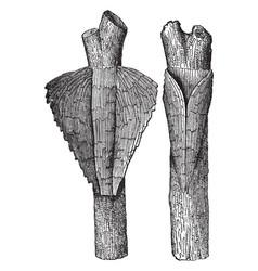 Cocoon of pyralis corticalis vintage vector