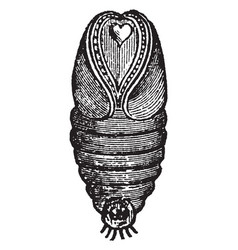 Conical pupa vintage vector