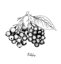hand drawn of elderberry fruits on white backgroun vector image