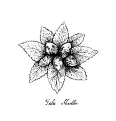 Hand drawn of dwarf whitebeam fruits on white back vector