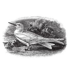 White tern vintage vector