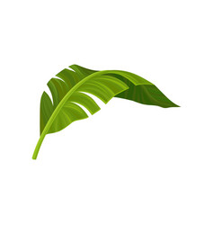 bright green curved leaf of banana palm tree vector image