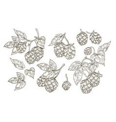 Collection elegant botanical drawings hop vector