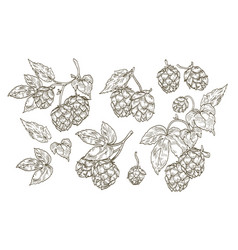 Collection of elegant botanical drawings of hop vector
