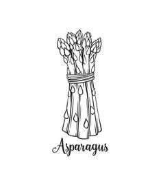 hand drawn asparagus icon vector image