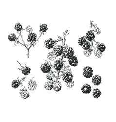 Ink drawn blackberry vector