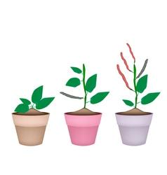 Kidney Bean Plant in Ceramic Flower Pots vector