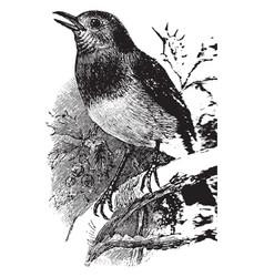 Red brest robin vintage vector