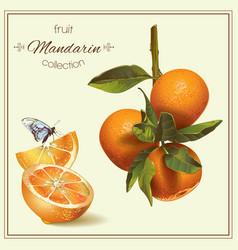 Realistic of mandarin vector