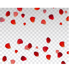 set of naturalistic rose petals on transparent vector image
