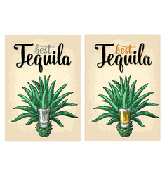 cactus blue agave with glass tequila vintage vector image