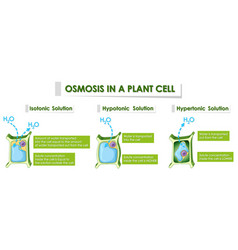 Diagram showing osmosis in plant cell vector