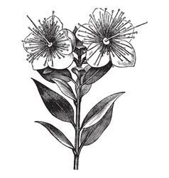 Myrtle vintage engraved vector image