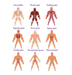 Different human organ system set muscular vector