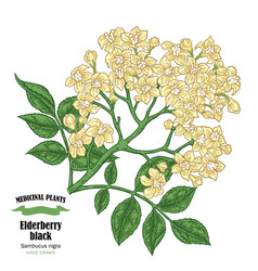 elderberry black sambucus hand drawn elder vector image