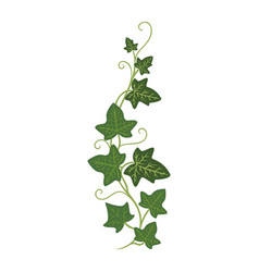 Ivy sprout icon woody evergreen eurasian climbing vector