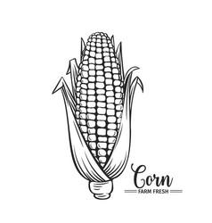 hand drawn corn icon vector image vector image