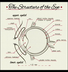 structure of the human eye vector image