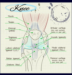 structure of the human knee vector image