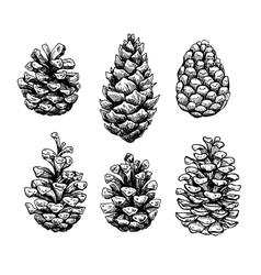 Pine cone set Botanical hand drawn vector image