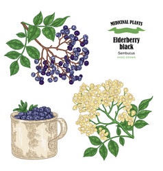 Elderberry black common names sambucus hand drawn vector