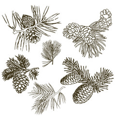 coniferous branches of trees with cones pine vector image