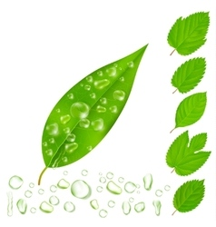 Fresh Leaves With Water Drops Set vector image