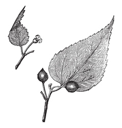 Virginia hackberry vintage engraving vector image