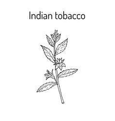 indian tobacco lobelia inflata or asthma weed vector image