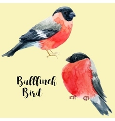 Watercolor hand drawn bullfinch vector