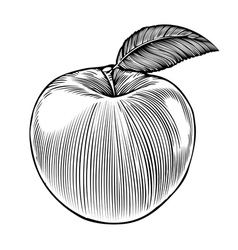 Apple in engraving style vector image vector image