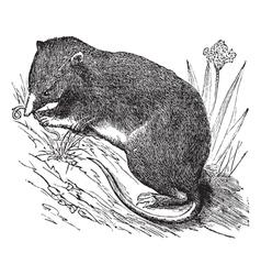 Common Shrew vintage engraving vector image vector image