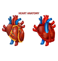 Diagram realistic banner with human hearts anatomy vector