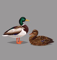 realistic birds wild ducks isolated on a grey vector image