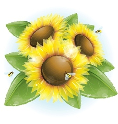Beautiful sunflowers and green leaves vector image