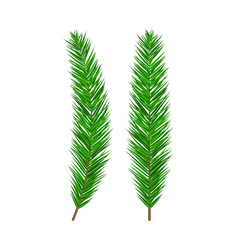 green lush spruce branch evergreen tree fir vector image