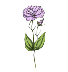 hand drawn eustoma garden flower isolated vector image vector image