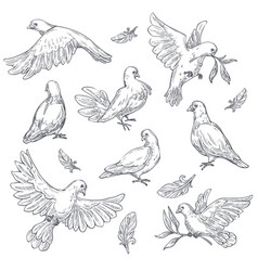 Dove sketch isolated bird peace symbol pigeon vector