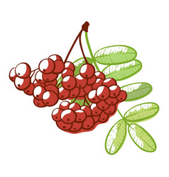 rowan berries bunch bright autumn tree decoration vector image