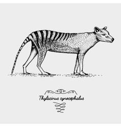 Tasmanian wolf thylacinus engraved vector