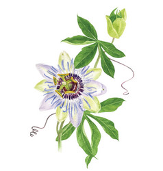 Watercolor passion flower branch vector
