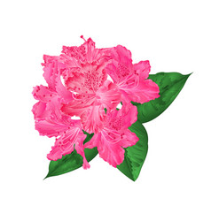 flowers pink rhododendron with leaves vector image