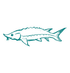 Sturgeon freshwater fish vector