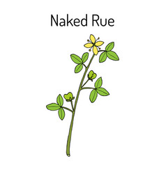 Naked rue psilopeganum sinense medicinal plant vector