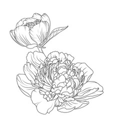 peony rose flowers isolated black white sketch vector image