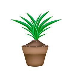 Fresh Pandan Plant in Ceramic Flower Pots vector image