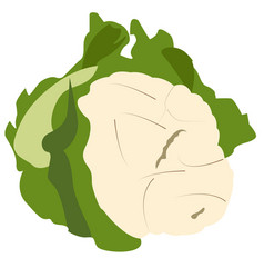 Isolated cauliflower vegetable vector