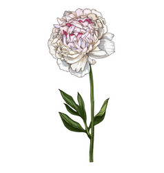 hand drawn gently pink peony flower isolated on vector image