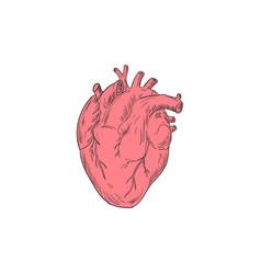 human heart anatomy drawing vector image vector image